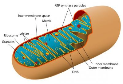 Animal_mitochondrion_diagram, fot. public domain